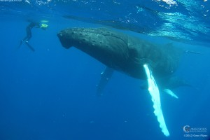 Swim With Whales, Swim with Humpback Whales, humpback whales, Silver Bank, Conscious Breath Adventures