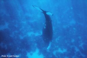 humpback whale song, humpback whale behavior,