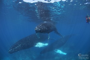 Swim With Whales Calm Water Calm Trio 300x200 Encounter the Humpback Whales of the Silver Bank, Dominican Republic