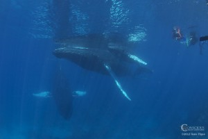 Conscious Breath Adventures photo of swimming with whales