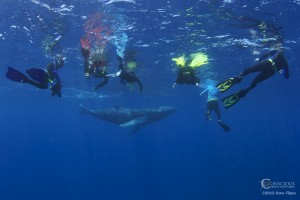 Swim With Whales - soft in-water encounter photo Swim with humpbcak whales