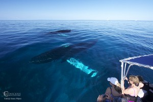 Whale Watchers observe a mother humpback whale and her calf in calm waters