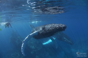 A humpback whale calf approaches for a closer look