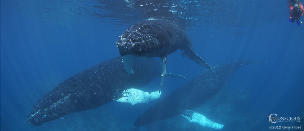 Three humpback whales interact with a guest of Conscious Breath Adventures swimming with whales
