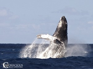 Humpback whale breaching on the Silver Bank