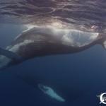 Dancing humpback whales