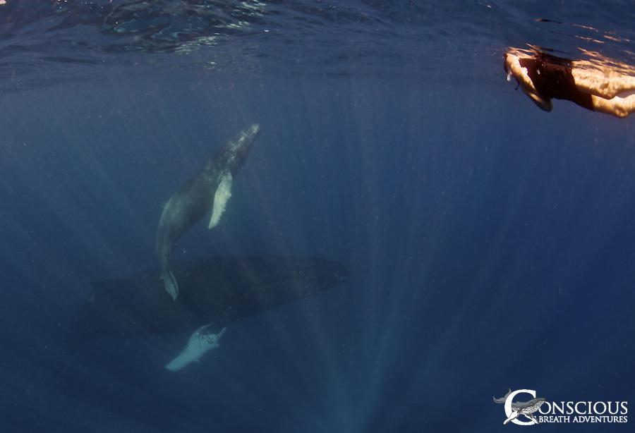 Humpback mother, calf & swimmer