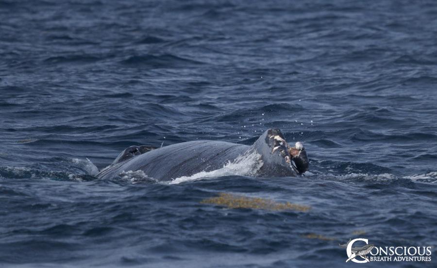 A Rowdy's broken dorsal fin