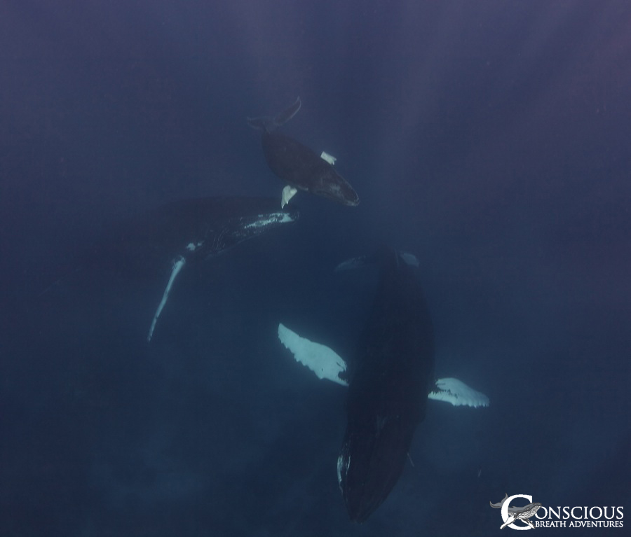 Mother, calf and escort socialize in the reef