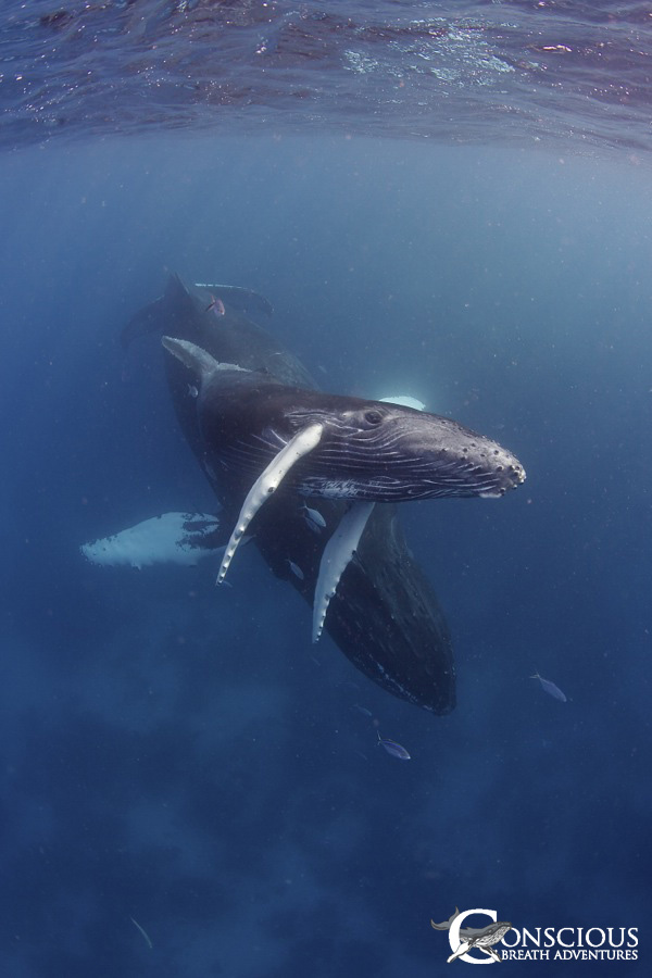 A mother humpback whale introduces her calf