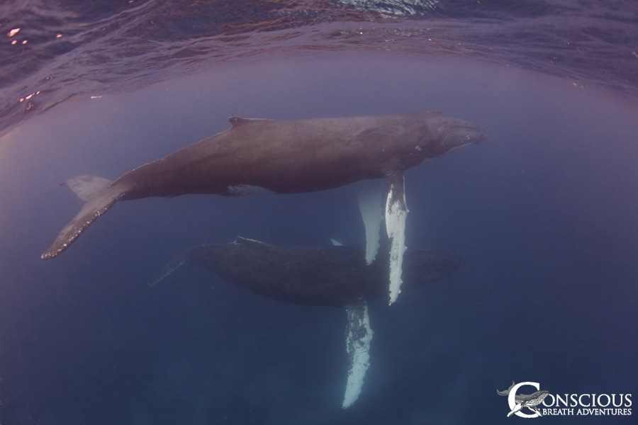The Humpback Whale Couple 1
