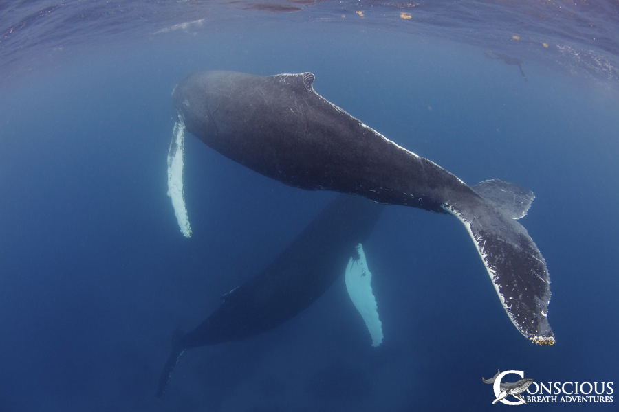 Female humpback and her dedicated escort