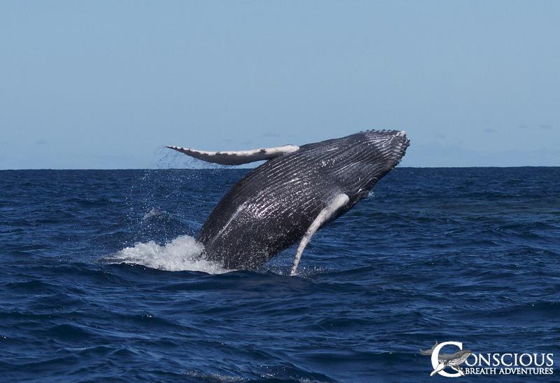 A breaching humpback whale calf
