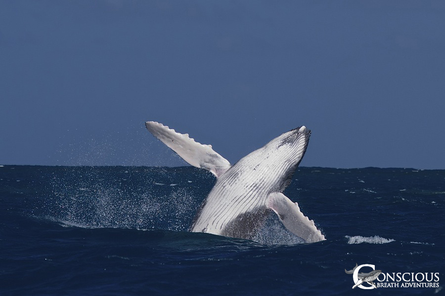 A breaching humpback whale calf shows off its skills