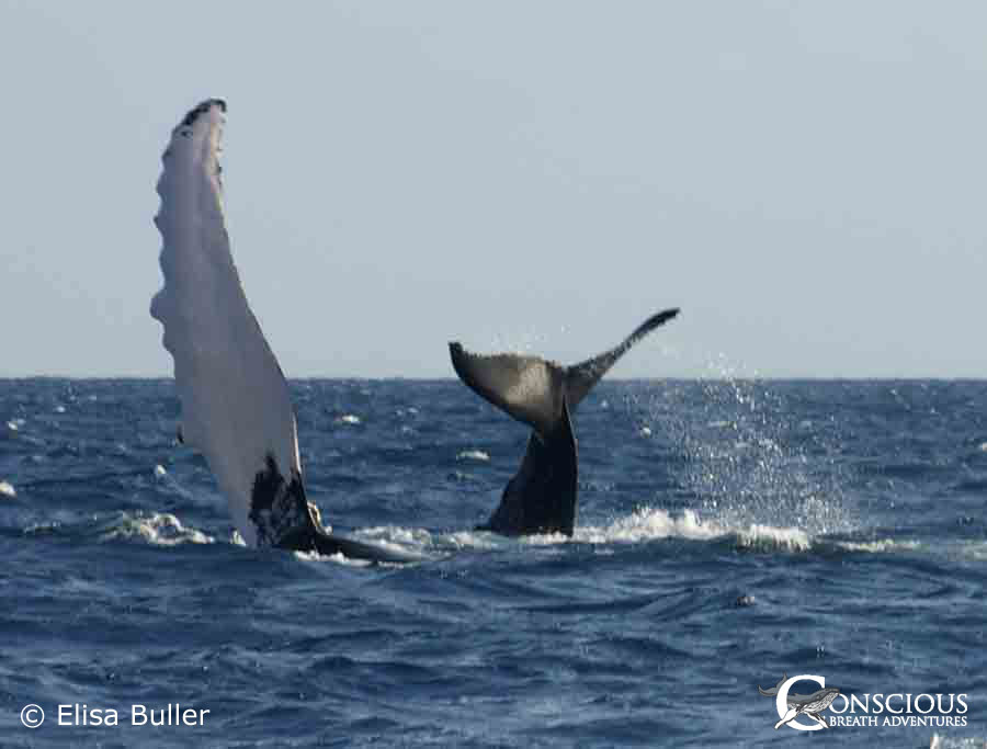A mother humpback whale and her calf play at the surface