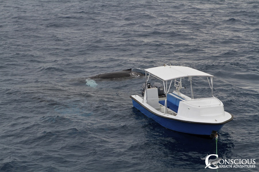 A calf plays with our boat, Fluke