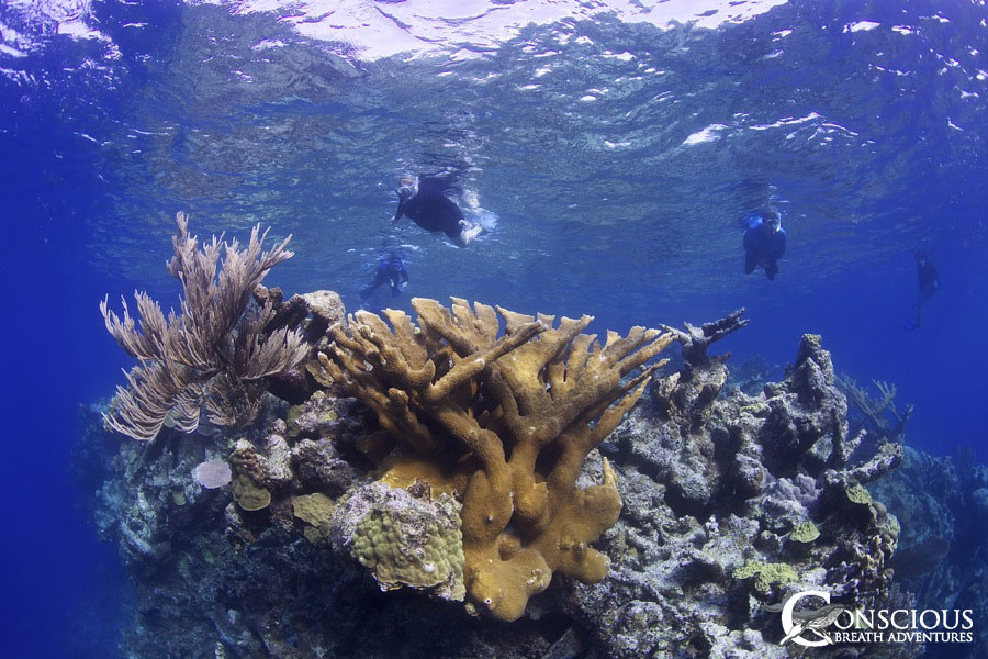 A stand of healthy elkhorn coral adorns the reef