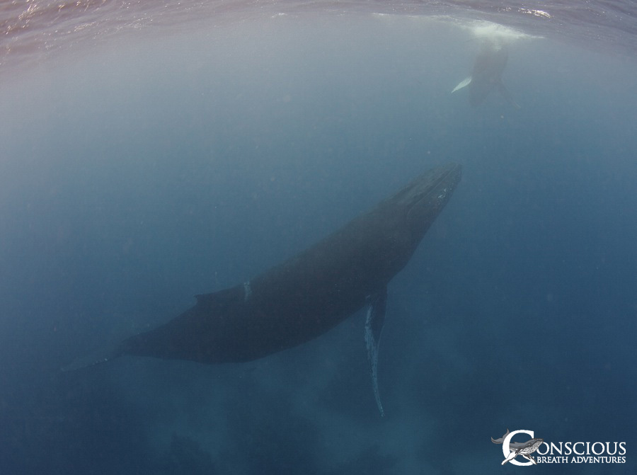 The entanglement scar is visible in front of her dorsal fin