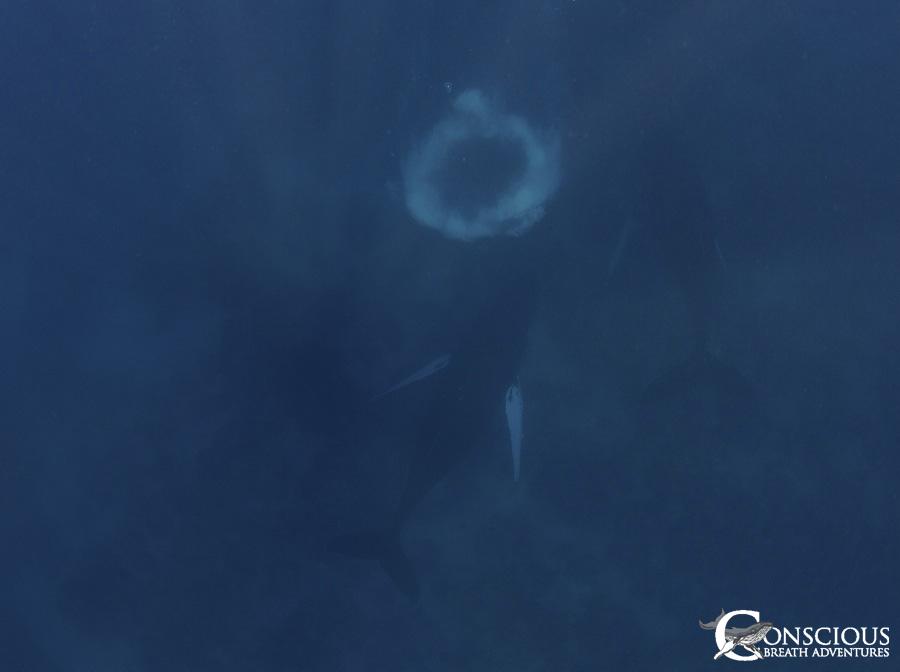 A humpback whale calf with an injured fluke