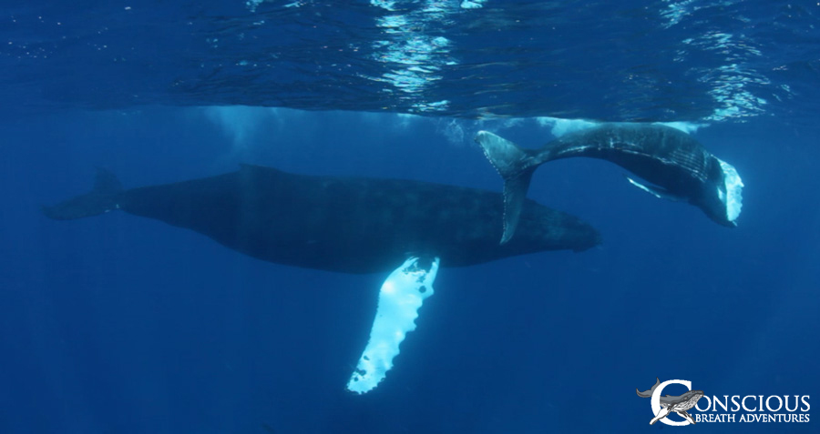 A pretty mother humpback and her calf