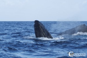 Rowdy humpback whales