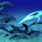 Spotted dolphins in the Bahamas with Conscious Breath Adventures