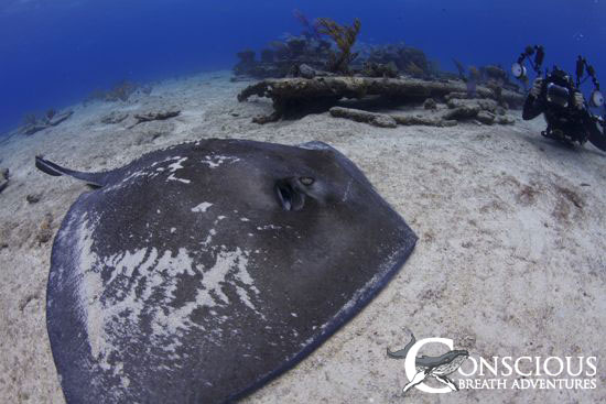 Stingray on Sugar Wreck