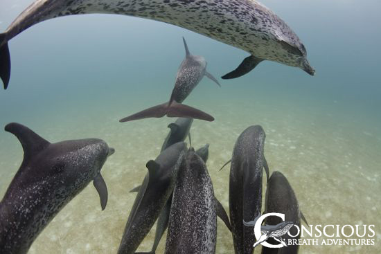 Spotted dolphins near Bimini