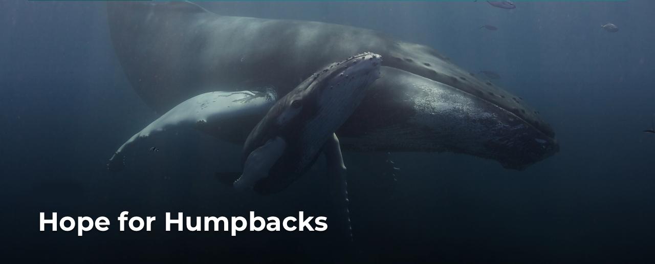 Hope for Humpbacks