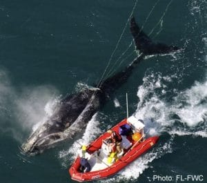 Progress on the Entanglement Risk to North Atlantic Right Whales