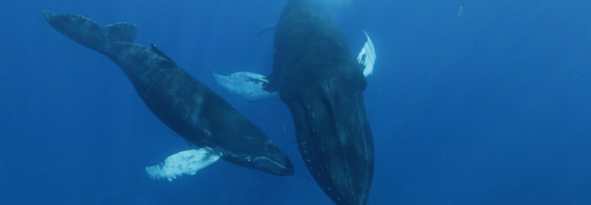 While swimming with whales a mother humpback whale and her calf approach