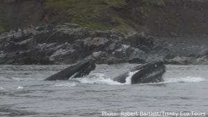 Humpback whales lunge feeding on capelin in Newfoundland
