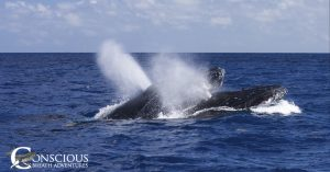 Two male humpback whales fight for a female
